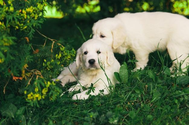 ゴールデンレトリバーの子犬が自然の中を歩く