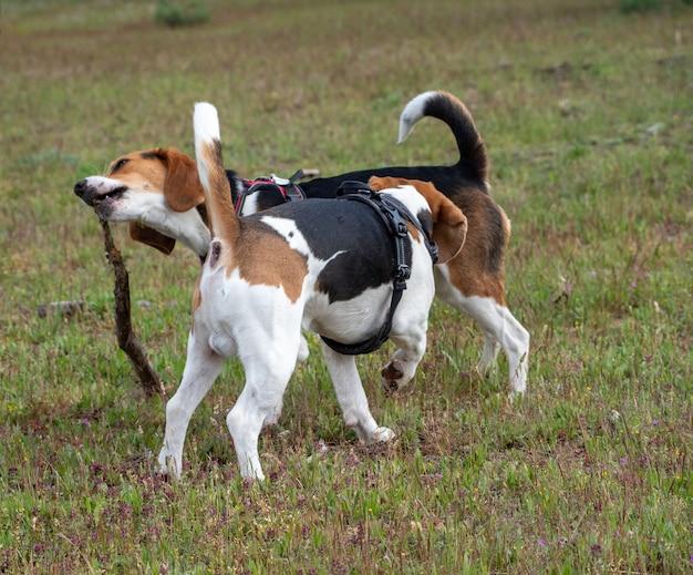 芝生のフィールドでスティックで遊ぶ子犬。公園で遊んでいる2匹の茶色と白の子犬。