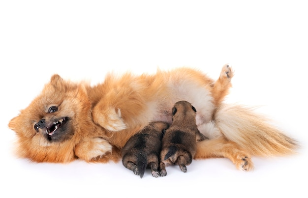 Puppies pomeranian and mother