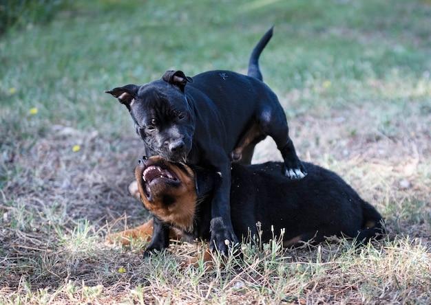 Щенки стаффордширского бультерьера и ротвейлера играют в саду