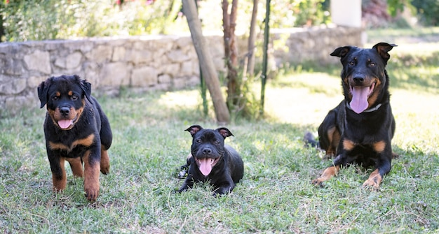 Puppies staffordshire bull terrier, beauceron, and rottweiler playing in a garden