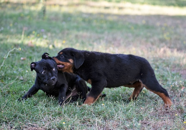 Puppies staffordshire bull terrier and rottweiler playing in a garden