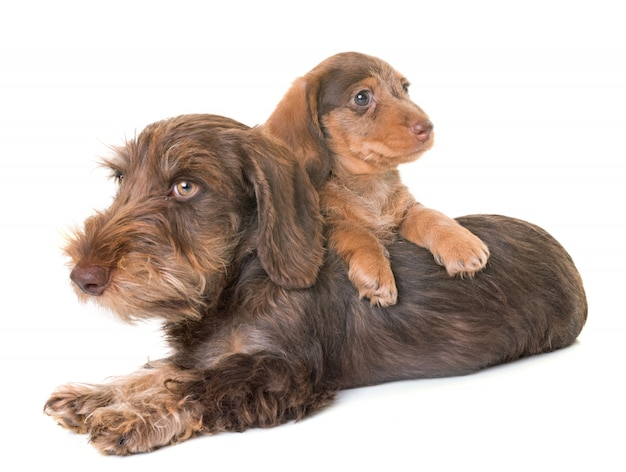 Puppies wire-haired dachshund