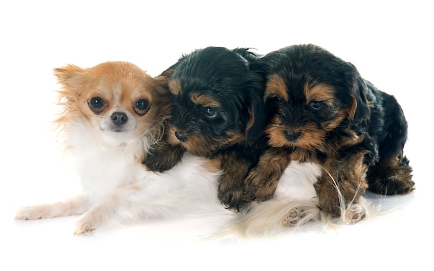 Puppies yorkshire terrier and chihuahua