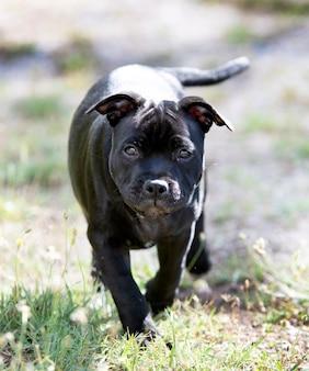 Puppt staffordshire bull terrier free in a garden