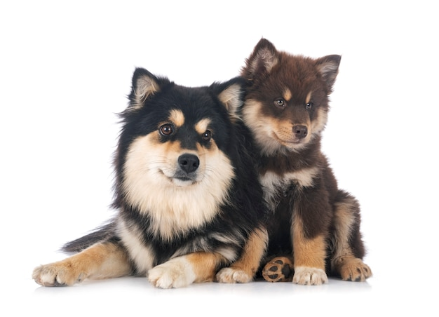 Puppy and adult finnish lapphund in front of white background