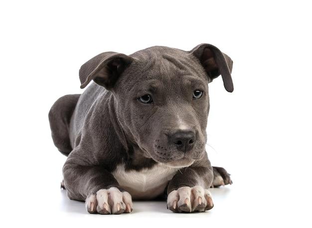 白の分離された子犬アメリカンスタッフォードシャーテリア