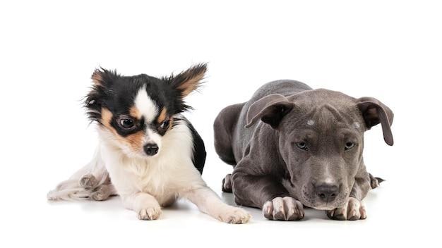 分離された白のチワワと子犬アメリカンスタッフォードシャーテリア