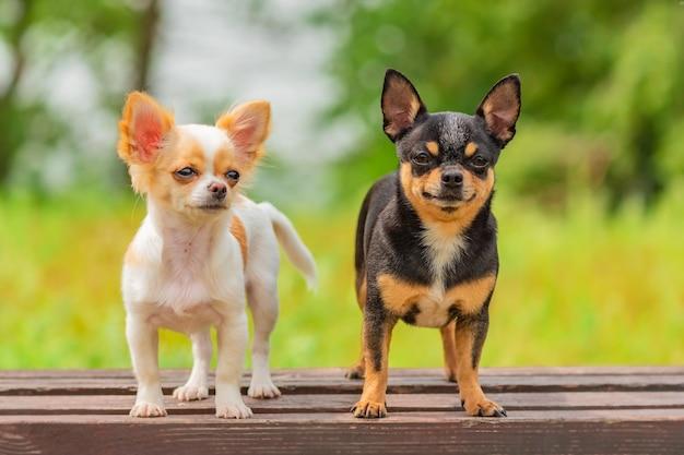 강아지와 성인 개 흑백. 벤치에 두 개의 작은 치와와 강아지. 야외에서 귀여운 국내 애완 동물