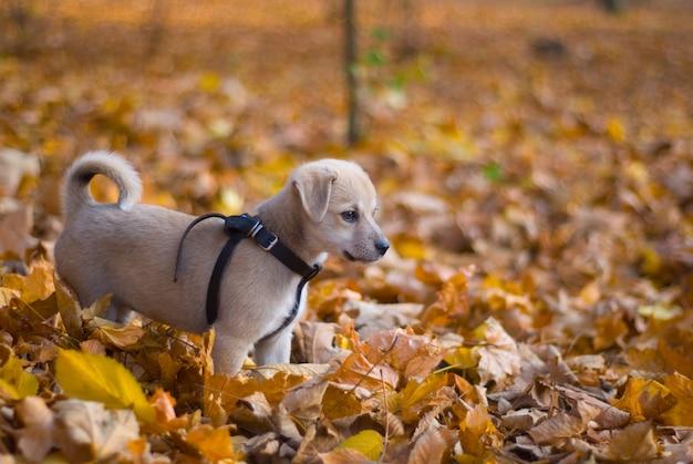 Puppy in the autumn park