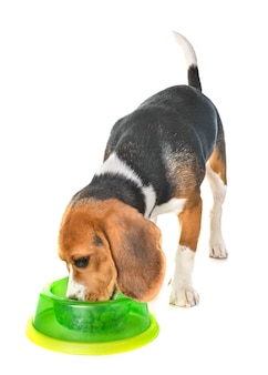 Puppy beagle eating