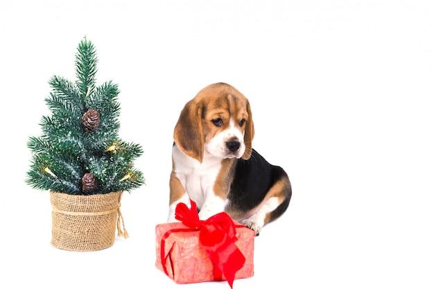ピンクのボックスでクリスマスツリーの近くの子犬ビーグル