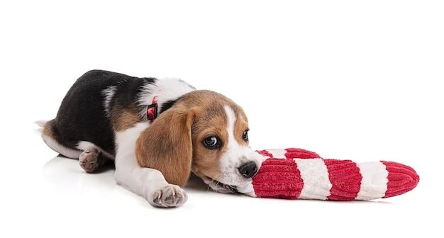 白いスペースに赤と白のクリスマスのおもちゃと子犬ビーグル