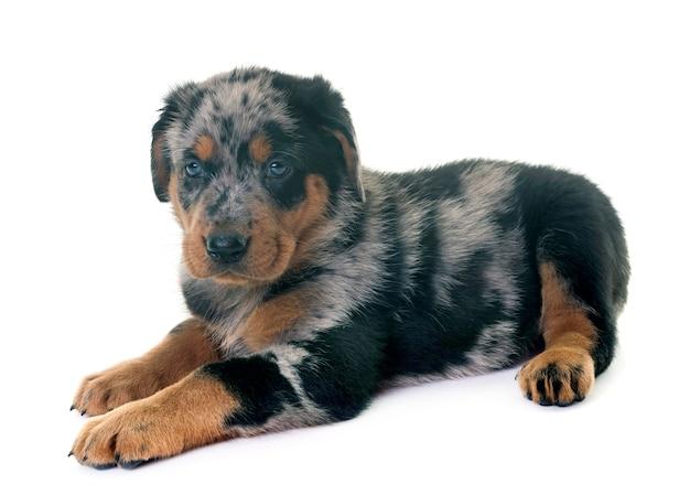 Puppy beauceron