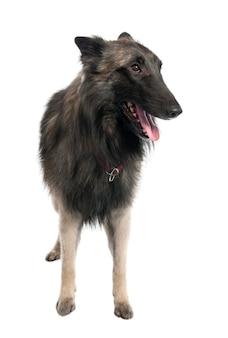 2 세의 강아지 벨기에 tervuren. 고립 된 개 초상화
