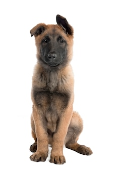 3 개월의 강아지 벨기에 tervuren. 고립 된 개 초상화