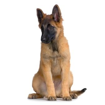 강아지 벨기에 테 뷰런