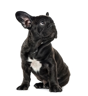 Puppy black french bulldog sitting and looking away, isolated on white
