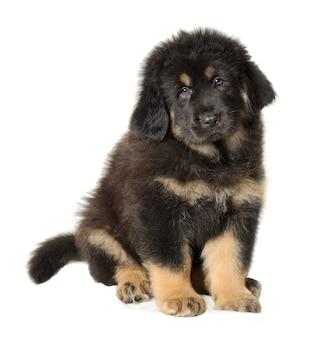 白で隔離子犬黒チベタンマスティフ
