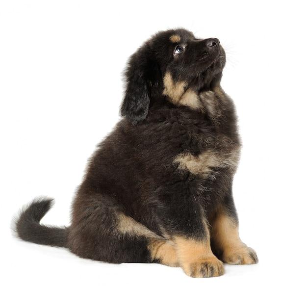 見上げる白い壁に黒い子犬チベットマスチフ