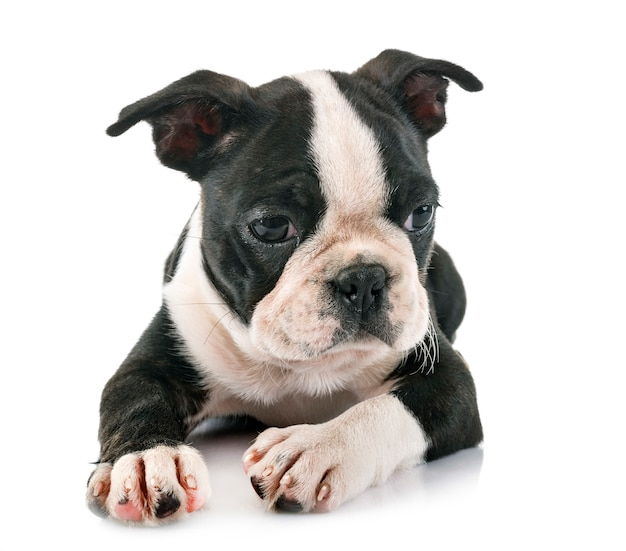 Puppy boston terrier