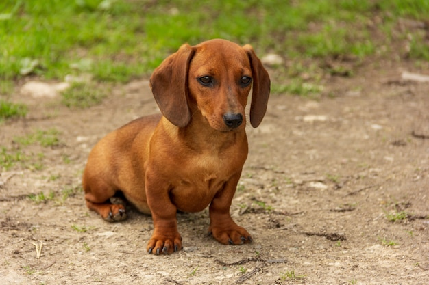 Puppy of breed dachshund of brown color