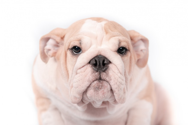 Puppy breed english bulldog on a white background. isolate.