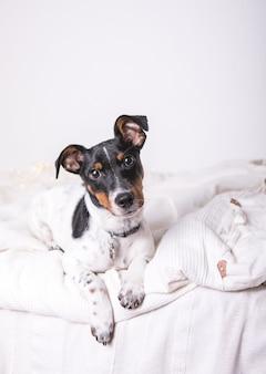 Щенок породы джек рассел терьер лежит на белом одеяле