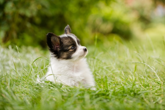 Puppy of breed papillon