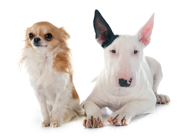 Puppy bull terrier and chihuahua dog