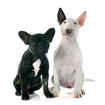 Puppy bull terrier and french bulldog