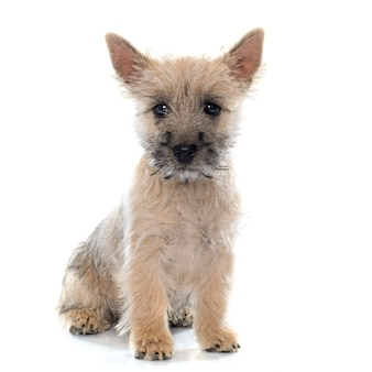 Cairn Terrier Vectors, Photos and PSD files | Free Download