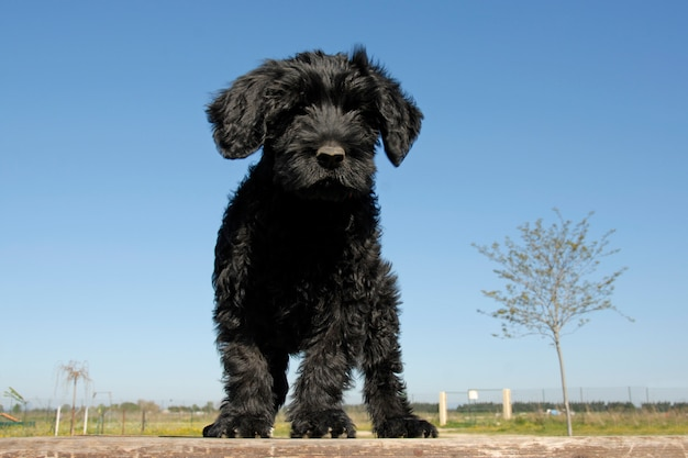 子犬cao de agua