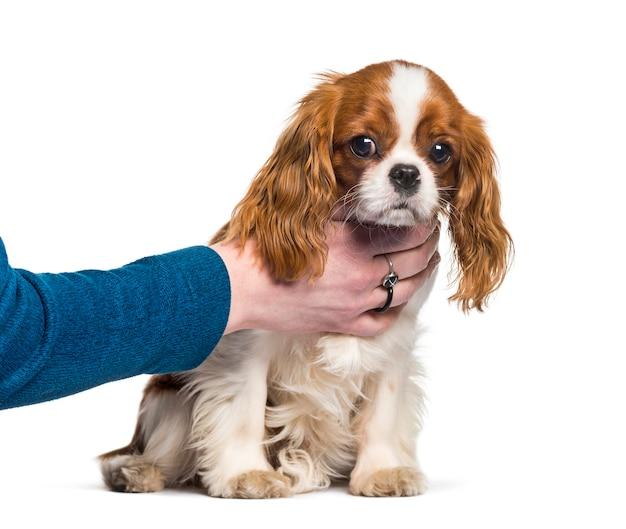 子犬キャバリアキングチャールズスパニエル、犬、人間の手