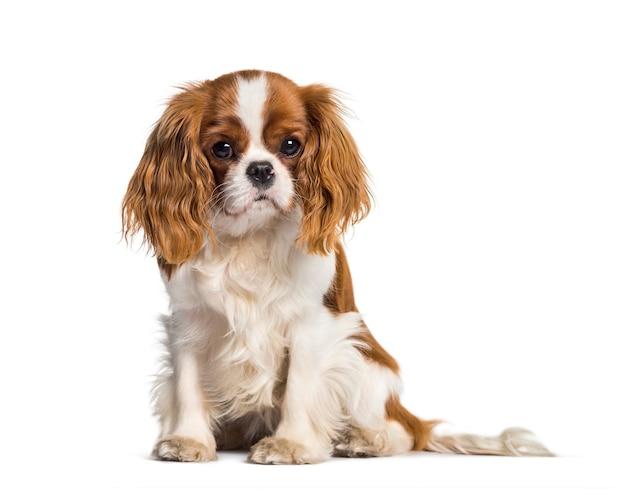 子犬キャバリアキングチャールズスパニエル、犬