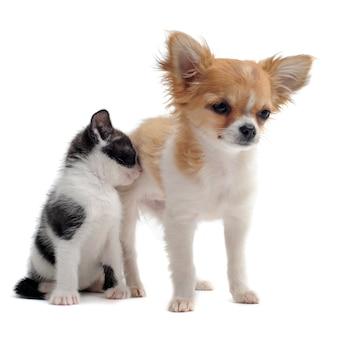 강아지 치와와 고양이