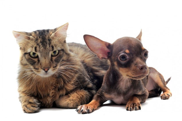 Puppy chihuahua and cat