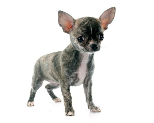 Puppy chihuahua dog