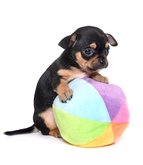 Puppy chihuahua isolated