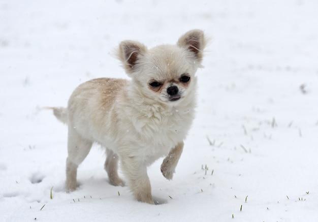 Щенок чихуахуа играет в снегу
