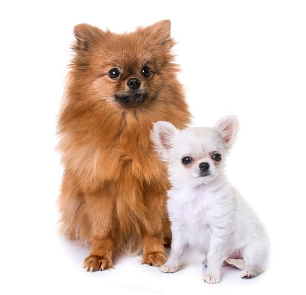 Puppy chihuahua and pomeranian