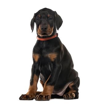 子犬チョコレートドーベルマンピンシャー座って、白で隔離