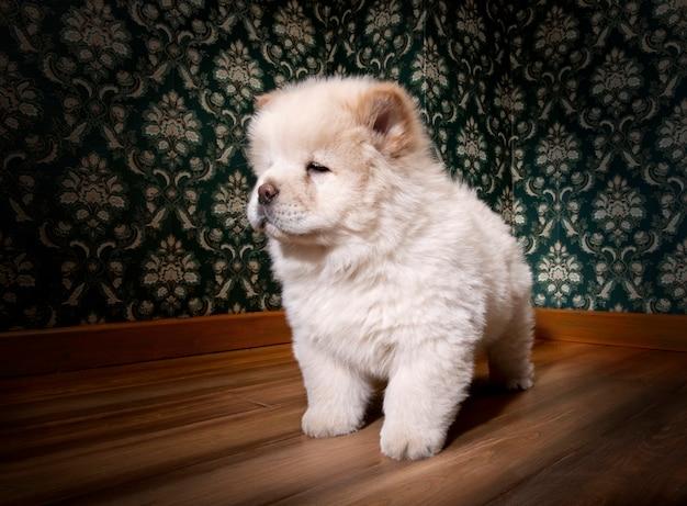 分離された白のレトロな部屋で子犬チャウチャウ
