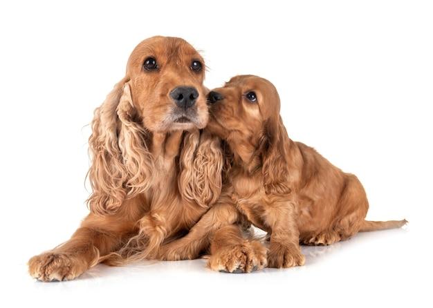 강아지 코커 발 바리와 어머니