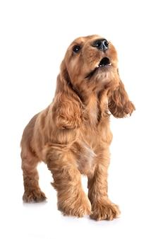 白い背景の前に子犬コッカースパニエル
