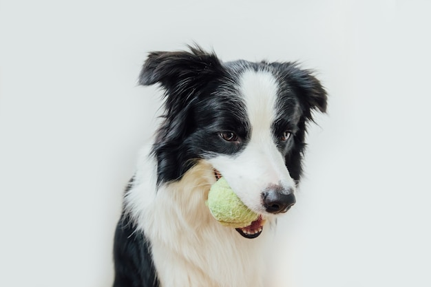 白い背景で隔離の口の中でおもちゃのボールを保持している子犬ボーダーコリー