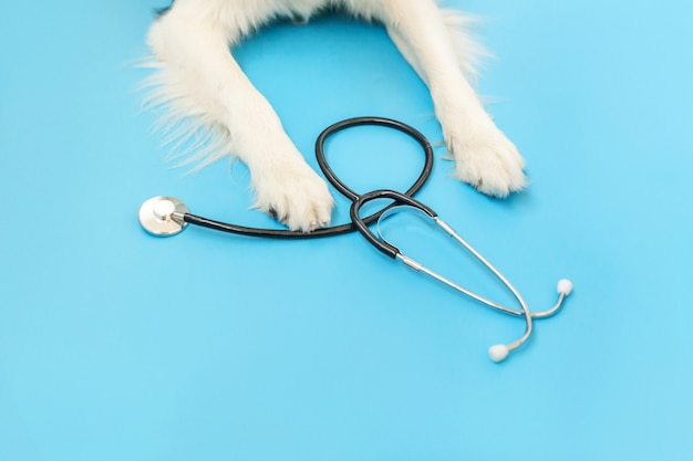 Puppy dog border collie paws and stethoscope isolated on blue background. little dog on reception at veterinary doctor in vet clinic. pet health care and animals concept