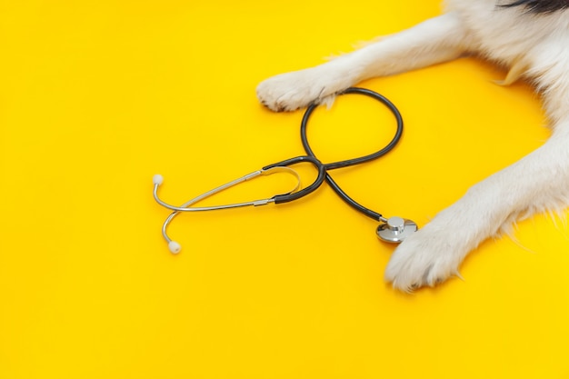 Puppy dog border collie paws and stethoscope isolated on yellow background. little dog on reception at veterinary doctor in vet clinic. pet health care and animals concept