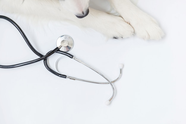 Puppy dog border collie paws and stethoscope isolated