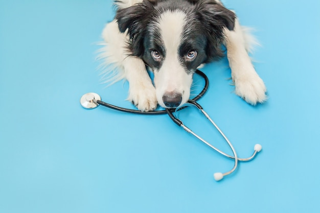 Puppy dog border collie and stethoscope isolated on blue background. little dog on reception at veterinary doctor in vet clinic. pet health care and animals concept